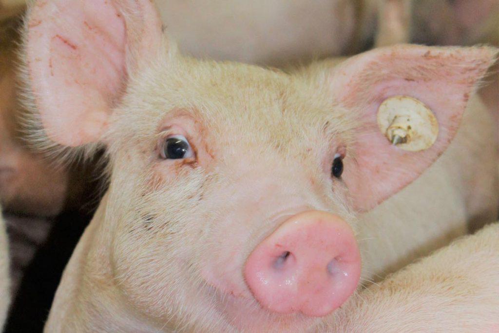 GBI Lab Pig